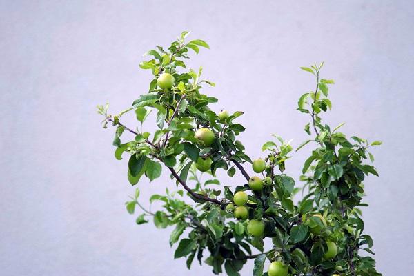 drzewka-owocowe-online
